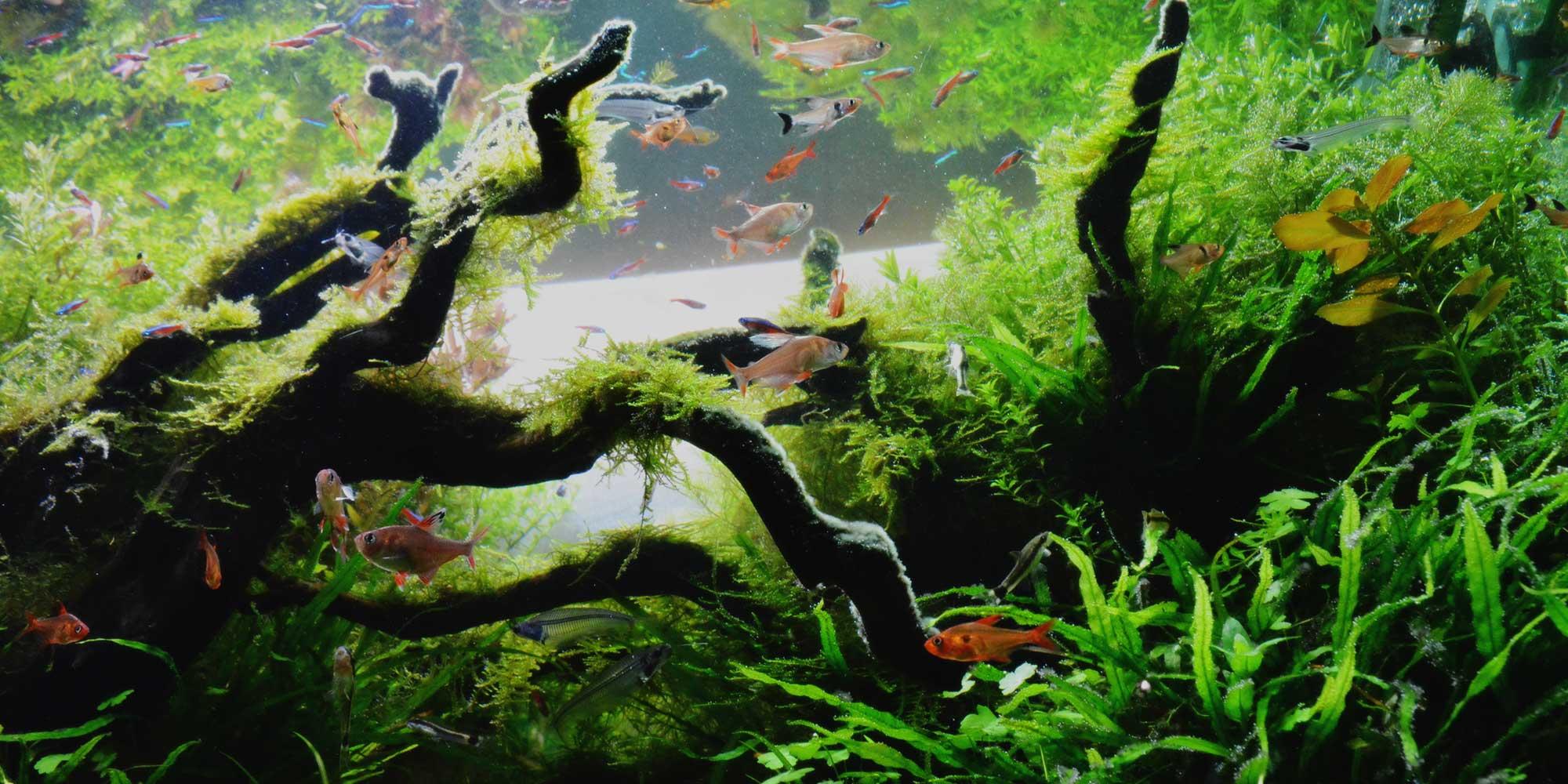 熱帯魚 アクアリウム ミッキーマウスプラティ ネオンテトラ
