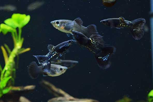 熱帯魚新入荷のご案内。
