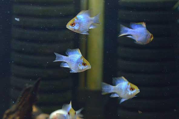 熱帯魚新入荷のご案内‼