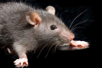 A rat in need of some rat control services in Mount Barker