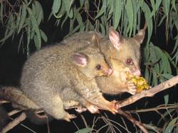 Possum Control