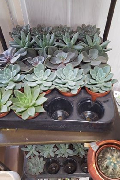 Petite plante grasse