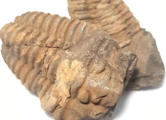 Trilobite: Flexicalyme