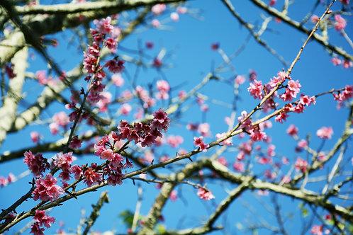 Cerejeira 1