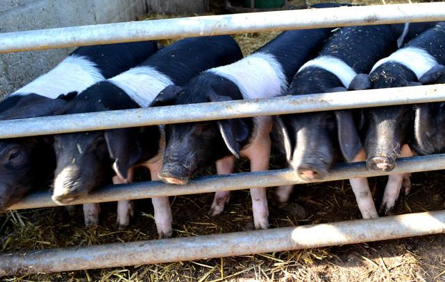 pigs-in-a-row.jpg