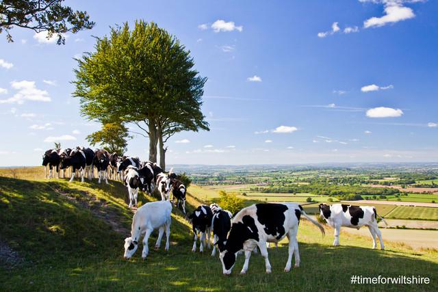 wiltshire-fields-cows.jpg