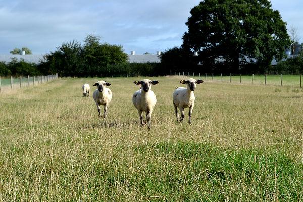 sheep-in-field.jpg