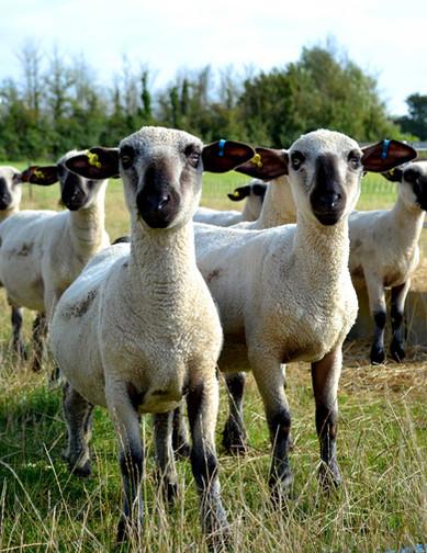 sheep-2.jpg