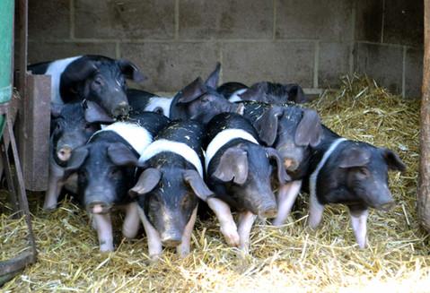 pigs-group.jpg