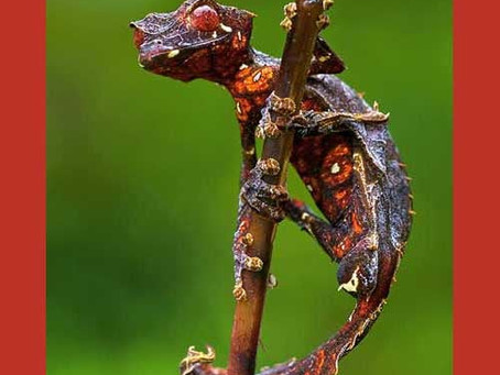 Pet - satanic leafy gecko