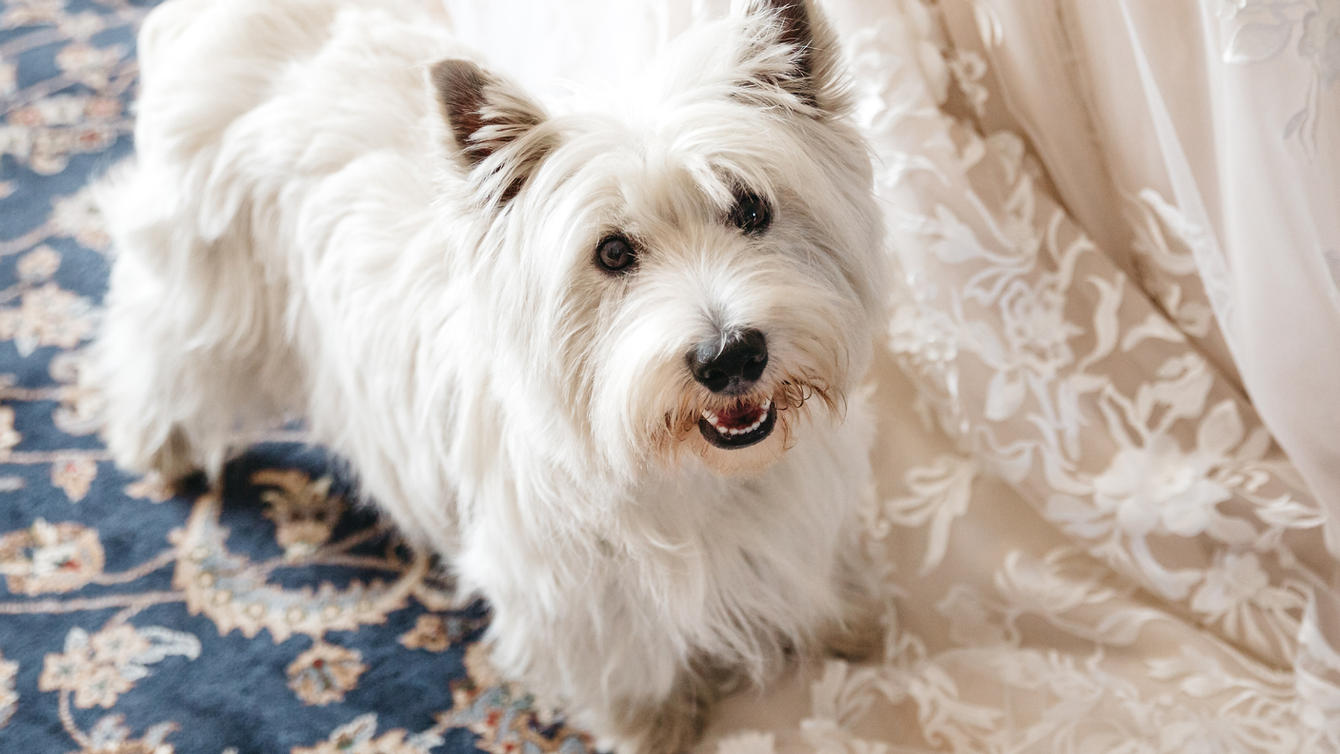 St Louis wedding day pet chauffeur services