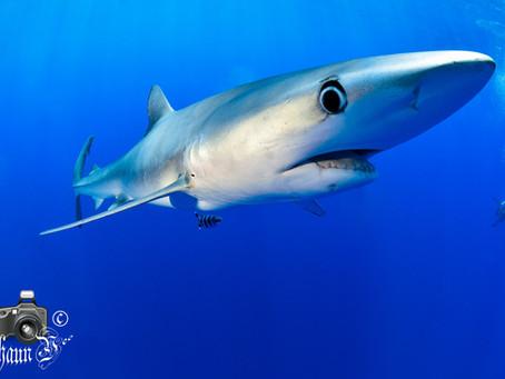 Sharks, Mantas & All Volcanic!
