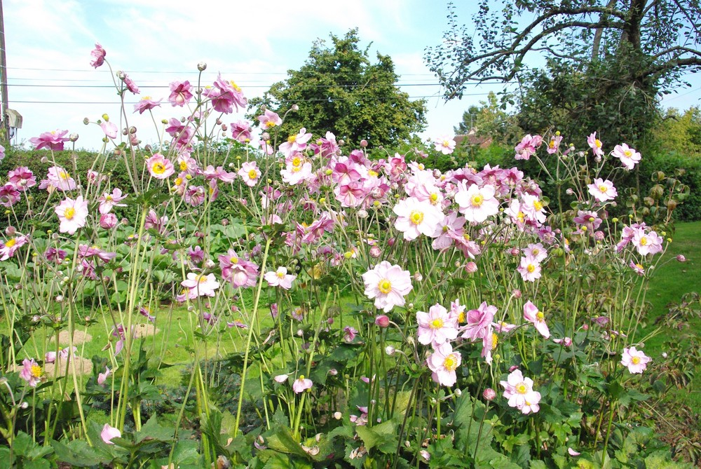 anemones2014.jpg