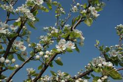 fruitier printemps.JPG