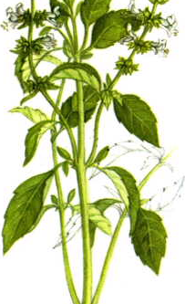 Connaissez vous cette plante sacré des indiens ?