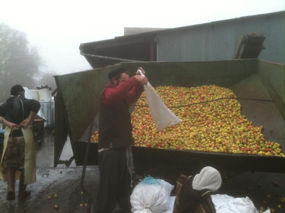 Déchargement des pommes dans la trémie