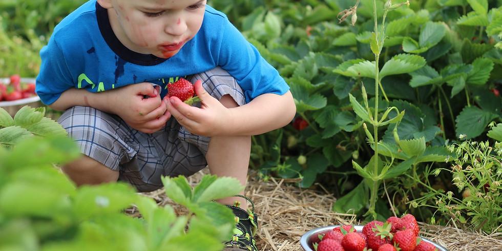 Autocueillette fraise