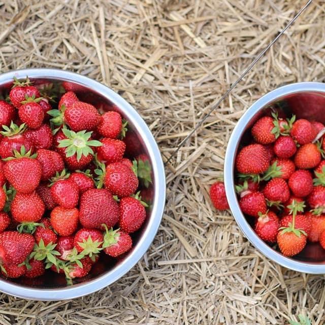 Ouverture de l'autocueillette de fraises!