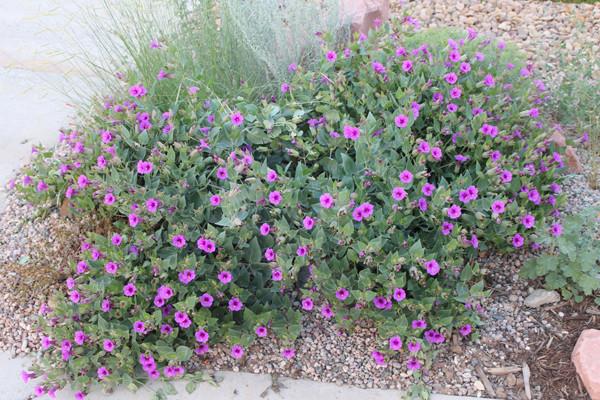 Colorado Native Plant Feature - Desert 4 o'clock