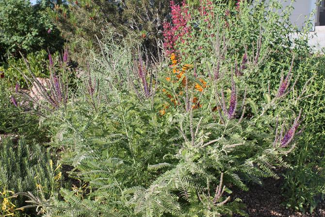 Colorado Native Plant Feature - Leadplant