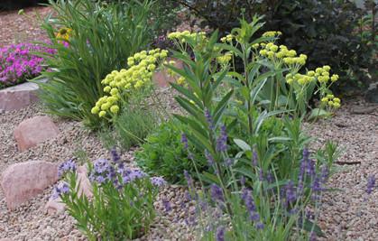 Colorado Native Plant Feature - Sulphur Flower (Buckwheat)