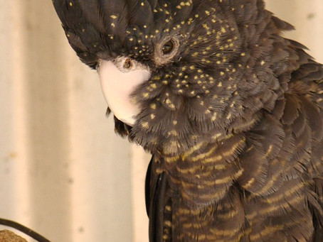 10:10 - Black Cockatoo