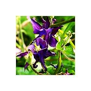 'Seeds for Bees' - Wild Columbine