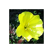 'Seeds for Bees' - Evening Primrose