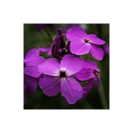 'Seeds for Bees' - Dames Violets