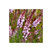 'Seeds for Bees' - Purple Toadflax