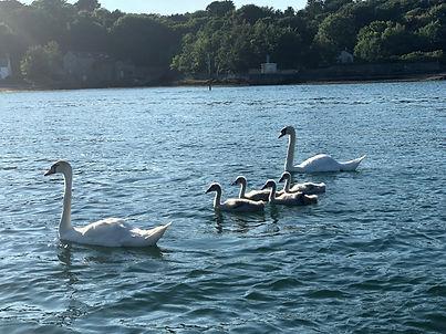 Swans background pic.jpg