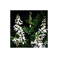 'Seeds for Bees' - White Goats Rue