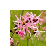 'Seeds for Bees' - Ragged Robin