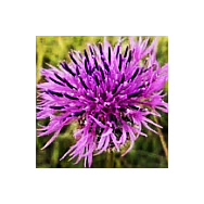 'Seeds for Bees' - Knapweed