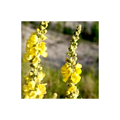 'Seeds for Bees' - Great Mullein