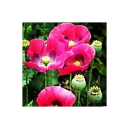 'Seeds for Bees' - Opium Poppy