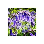 'Seeds for Bees' - Bluebell