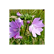'Seeds for Bees' - Musk Mallow