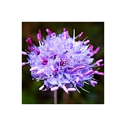 'Seeds for Bees' - Devils Bit Scabious