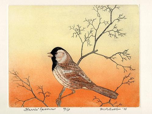 Harris' Sparrow 1975