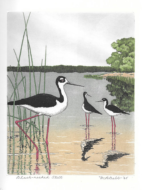Black-necked Stilts 1965