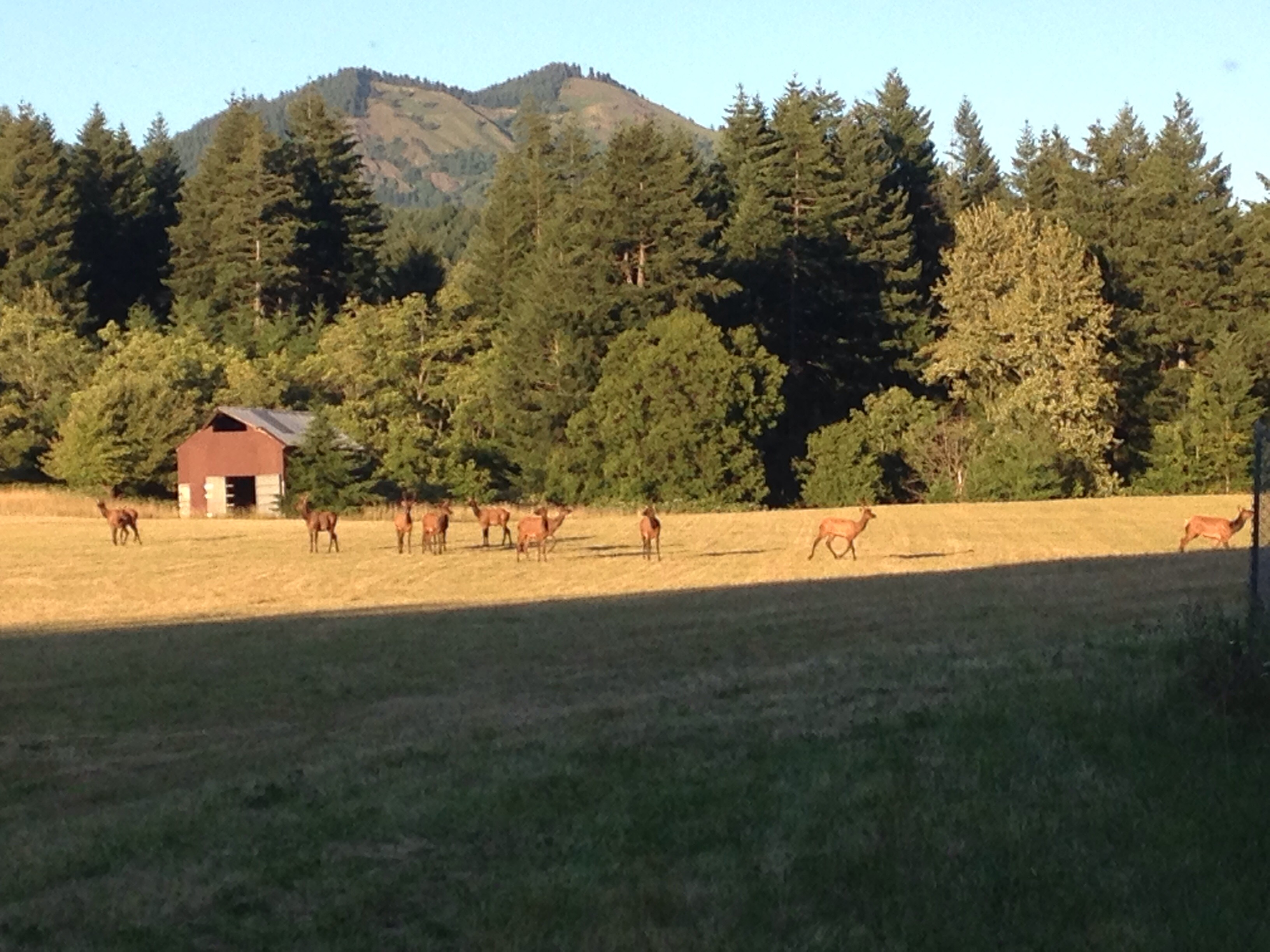 Frequently seen local Elk