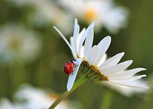 ladybug on daisy.jpeg