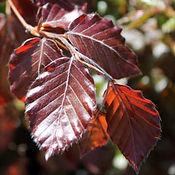 Beech - Purple or Copper.jpg
