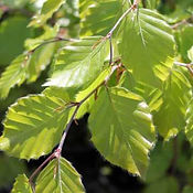 Beech - Green.jpg
