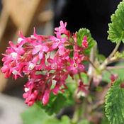 Flowering Currant.jpg