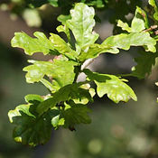Oak - English.jpg