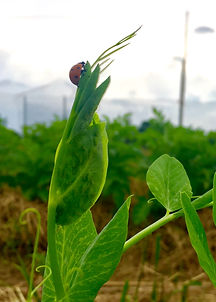 Ladybug_Aphids.jpg