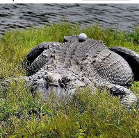 Saturday Writing Prompt -12th June -Crocodiles & Golfballs
