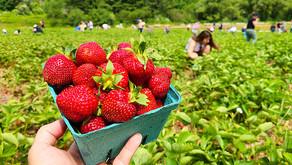 Colhendo morangos na fazenda Kennie's U Pick Strawberry Farm